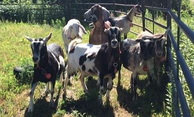 Adopt various breeds of goats to meet for adoption a Goat