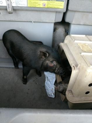 Adopt Poppleton a Pig