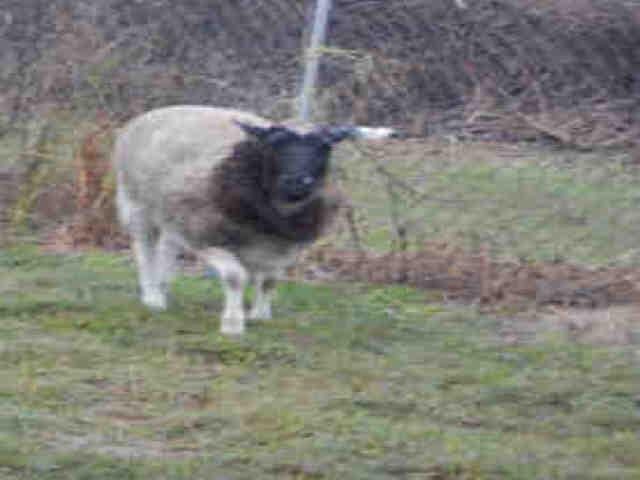 Adopt A207657 a Sheep