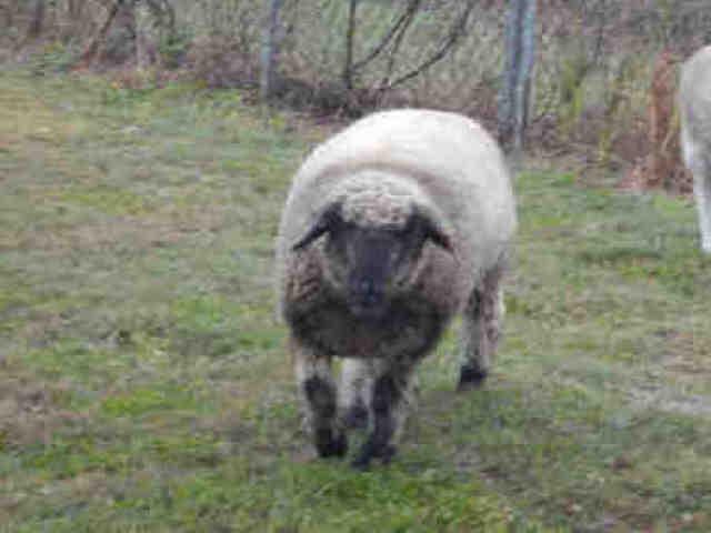Adopt A207656 a Sheep