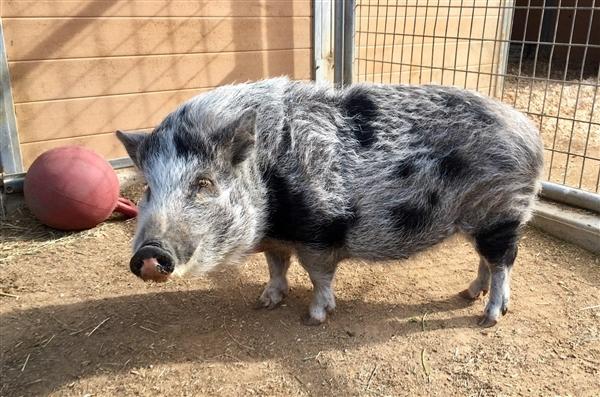 Adopt Flower a Pig