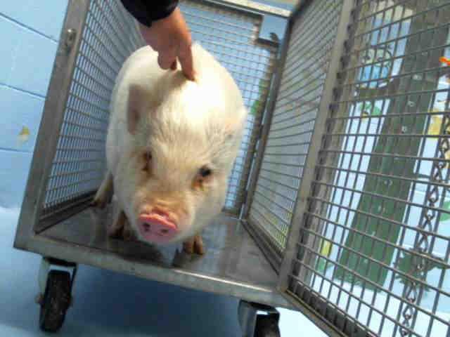 Adopt A481305 a Pig