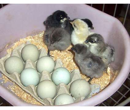 Cemani, Barnevelder, Araucana , Svart Hona and more chicks and eggs