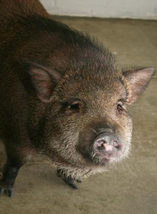 Adopt Pippa~ HOUSEBROKEN! a Pig