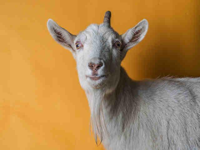 Adopt DELILAH a Goat