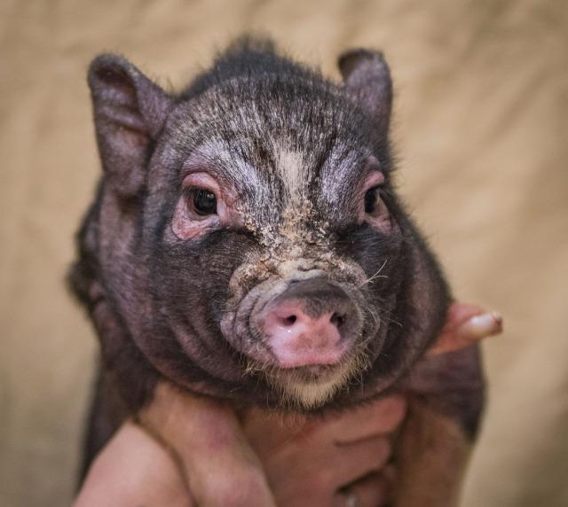 Adopt Stewart a Pig