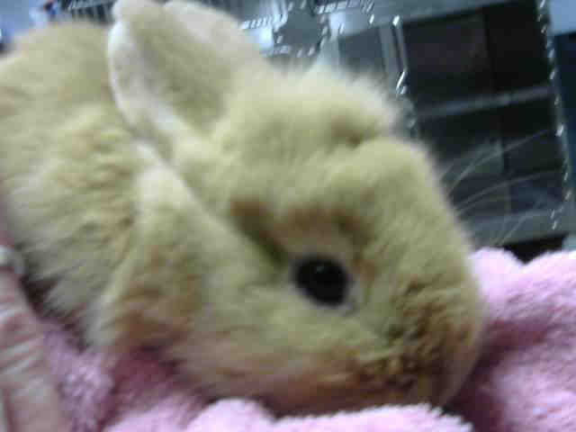 Adopt CREAM PUFF a Bunny Rabbit