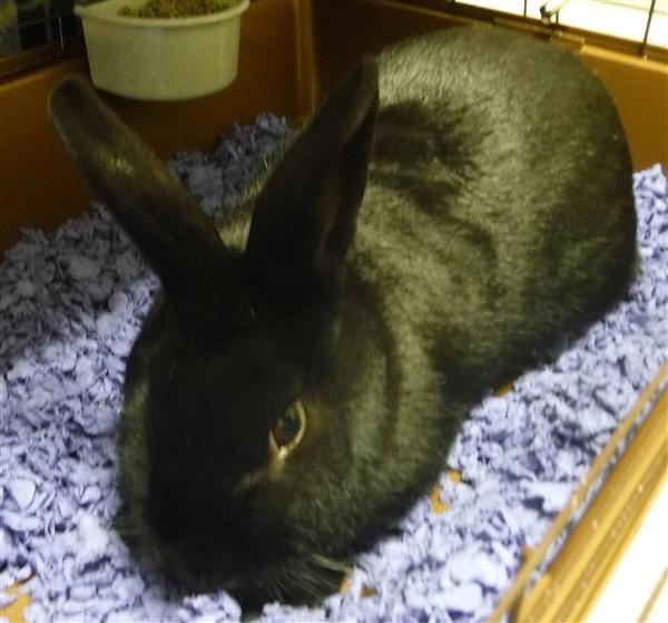 Adopt Einstein a Rex / Mixed rabbit in Silverdale, WA (20507858)