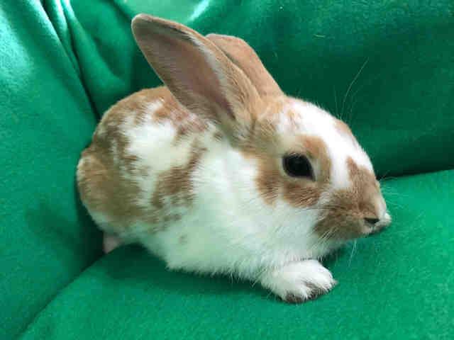 Adopt DANTE a Bunny Rabbit