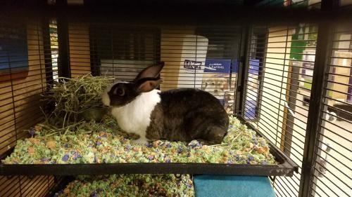 Adopt Rabbits a Rex / Mixed (short coat) rabbit in Elmira, CA (20519291)