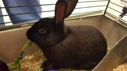 Adopt SAUSAGE a Black Other/Unknown / Other/Unknown / Mixed rabbit in Augusta