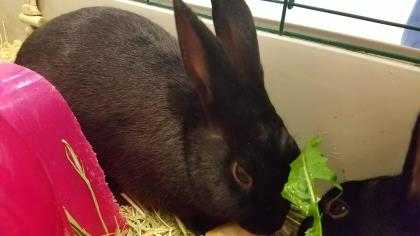 Adopt MEATBALL a Black Other/Unknown / Other/Unknown / Mixed rabbit in Augusta