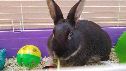 Adopt PEPPERONI a Black Other/Unknown / Other/Unknown / Mixed rabbit in Augusta