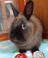 Adopt Zelda a Chocolate Dwarf / Mixed (short coat) rabbit in Woburn