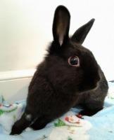Adopt Barbara a Black Dwarf / Mixed (short coat) rabbit in Woburn, MA (20522768)