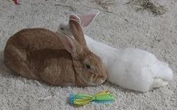 Adopt Zelda a Tan Palomino / Mixed (short coat) rabbit in Woburn, MA (20522840)