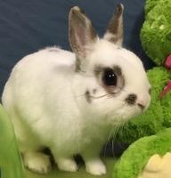 Adopt Peter a White Netherland Dwarf / Mixed (short coat) rabbit in Woburn