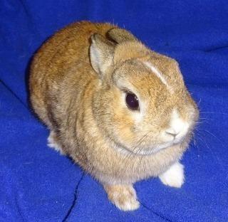 Adopt Pumpkin a Blond/Golden Polish / Mixed (short coat) rabbit in Woburn
