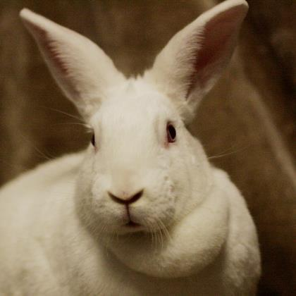 Adopt Stella a White New Zealand / Other/Unknown / Mixed rabbit in Saukville