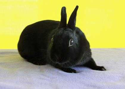 Adopt Cassiopeia a Black Satin / Dwarf / Mixed rabbit in Bristol, IN (20717782)
