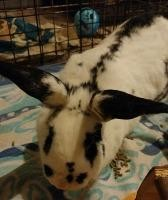 Adopt Marmalade a White Checkered Giant / Mixed (short coat) rabbit in Woburn