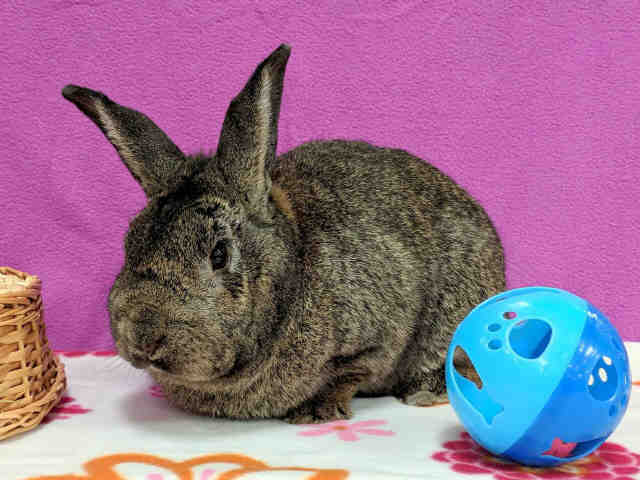 Adopt SHONTA a Fawn Other/Unknown / Mixed rabbit in Martinez, CA (20692904)