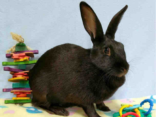 Adopt VALENTINA a Black Other/Unknown / Mixed rabbit in Martinez, CA (20692914)