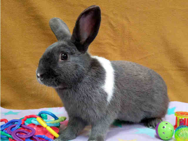 Adopt MACAROON a Grey/Silver Other/Unknown / Mixed rabbit in Martinez