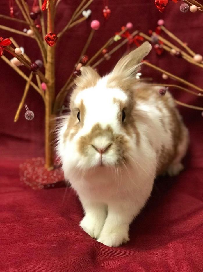 Adopt Scarlet O'Hare-A a Lionhead