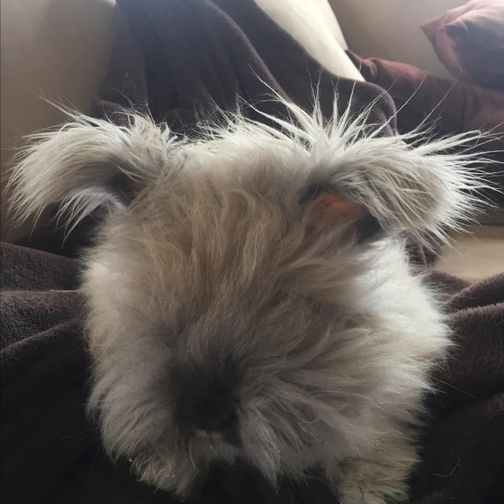 Adopt Walter a Cream Angora, English / Mixed (long coat) rabbit in Birmingham