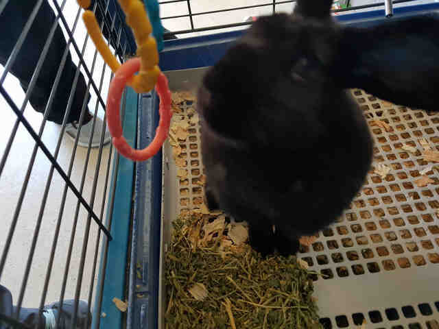 Adopt MIDNIGHT a Black Other/Unknown / Mixed rabbit in Fairfield, CA (20710552)