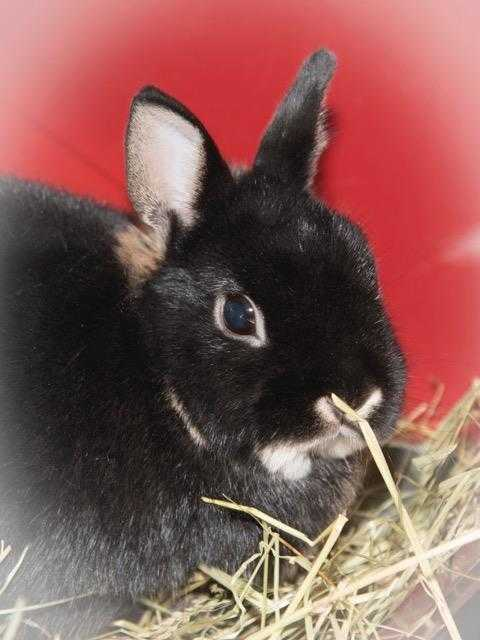 Adopt SUNDAE a Black Netherland Dwarf / Mixed rabbit in Methuen, MA (20699582)