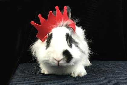 Adopt Garnet a White Lionhead / Lionhead / Mixed rabbit in Voorhees
