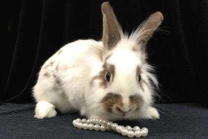 Adopt Obsidian a White Lionhead / Lionhead / Mixed rabbit in Voorhees
