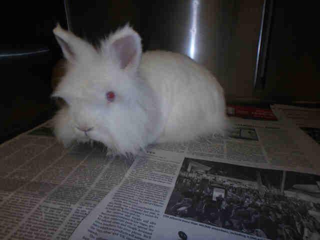 Adopt JACK WHITE a Bunny Rabbit