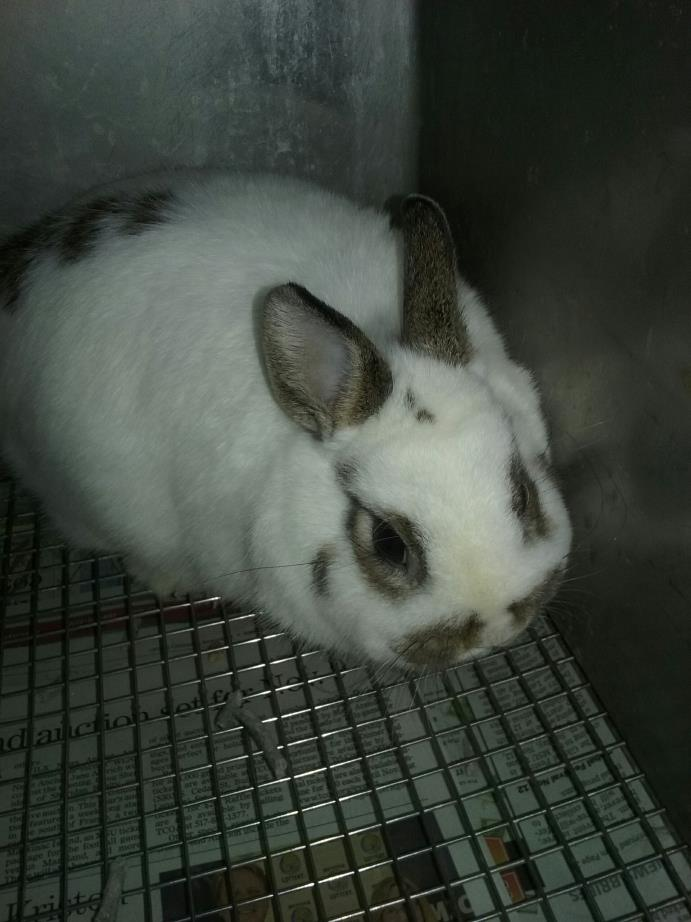 Adopt winchester a White Dwarf / Mixed (short coat) rabbit in Olivet