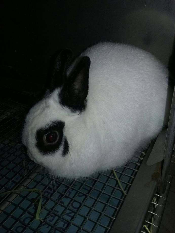 Adopt Banillie a White Dwarf / Mixed (short coat) rabbit in Olivet