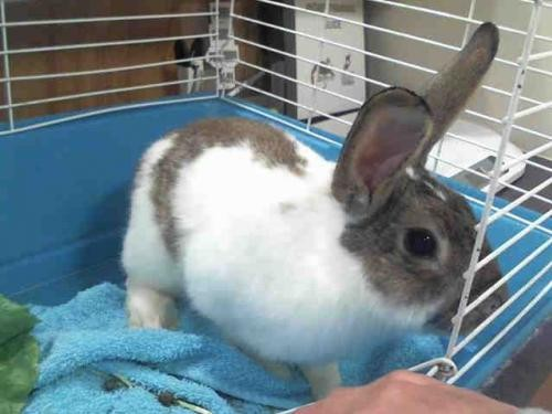Adopt SPRITE a Other/Unknown / Mixed (medium coat) rabbit in Murray