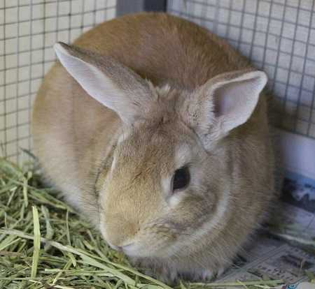 Adopt PETER a Fawn Other/Unknown / Mixed rabbit in Las Vegas, NV (20687090)