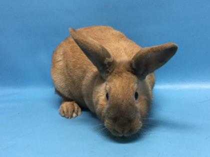 Adopt Schroeder a Tan Other/Unknown / Mixed rabbit in St. Paul, MN (20698500)