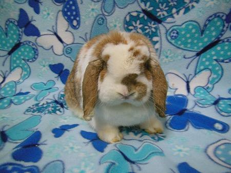 Adopt Nugget a Holland Lop