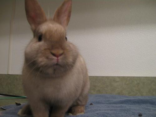 Adopt 116810 a Bunny Rabbit