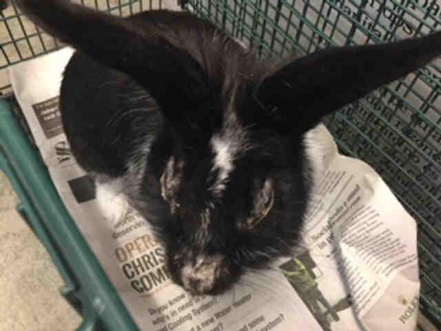 Adopt A466472 a Bunny Rabbit