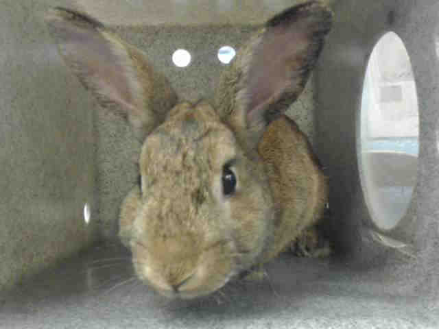 Adopt ROID a Bunny Rabbit