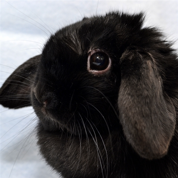 Adopt Valorie a Holland Lop