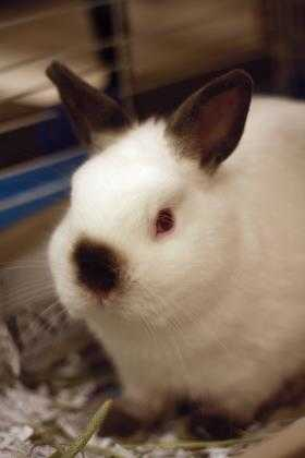 Adopt Nirvana a White Netherland Dwarf / Other/Unknown / Mixed rabbit in