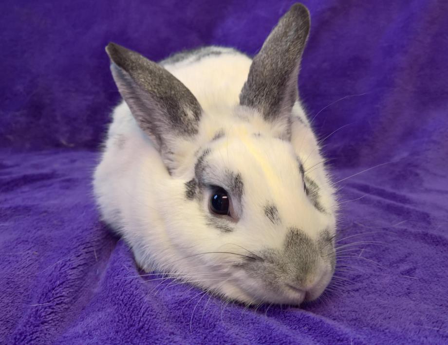 Adopt Ralph a Bunny Rabbit