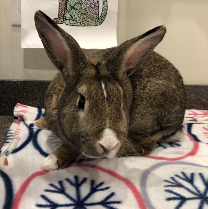 Adopt Blake a Cinnamon Other/Unknown / Mixed rabbit in Peace Dale, RI (20581354)
