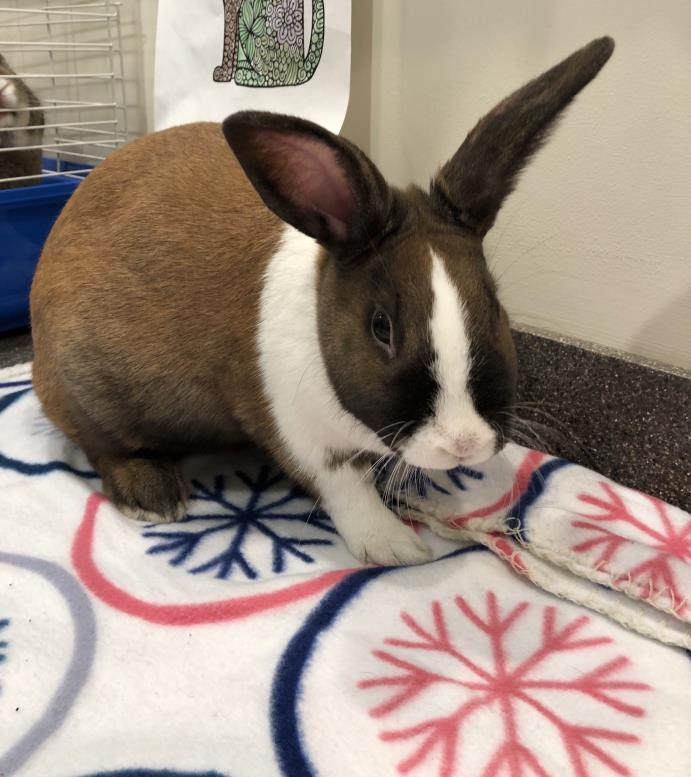 Adopt Alex a Tan Other/Unknown / Mixed rabbit in Peace Dale, RI (20581363)