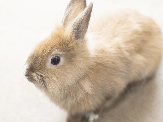 Adopt TOT a Bunny Rabbit, Lionhead
